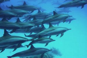 Sataya Dolphin Reef 55 $